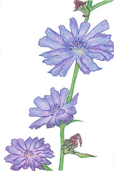 Chicory(チコリー)